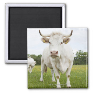 Cow standing in grassy field square magnet