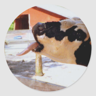 Cow sticking it's tongue out for popcorn round sticker