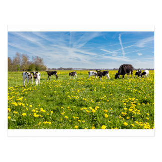 Cow with newborn calves in meadow with dandelions postcard