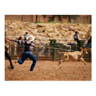 Cowboy roping calf in rodeo postcard