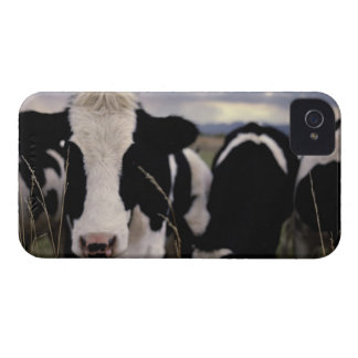 Cows 3 iPhone 4 cover