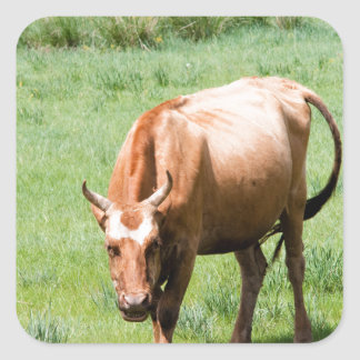 cows and bulls square sticker