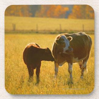 Cows at pasture coaster