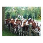 Cows Curious Postcard