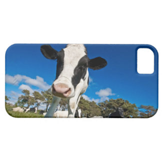 Cows feeding on pasture 2 iPhone 5 cover