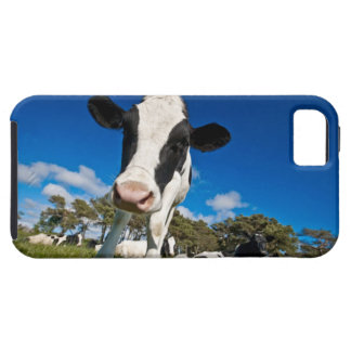 Cows feeding on pasture 2 iPhone 5 covers