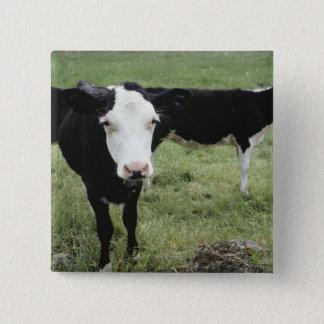 Cows grazing in meadow, Nova Scotia, Canada 15 Cm Square Badge