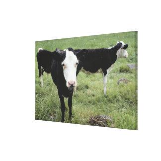 Cows grazing in meadow, Nova Scotia, Canada Canvas Print