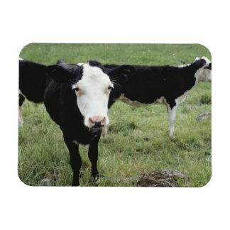 Cows grazing in meadow, Nova Scotia, Canada Magnet