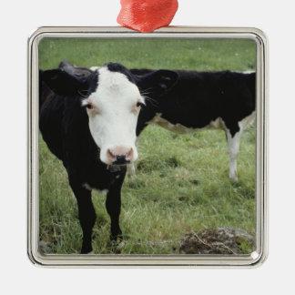 Cows grazing in meadow, Nova Scotia, Canada Silver-Colored Square Decoration