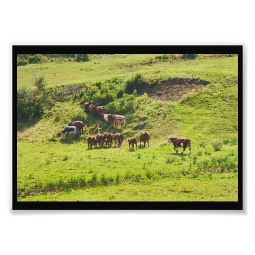 Cows Grazing On Hillside In Maine Farm Field Art Photo