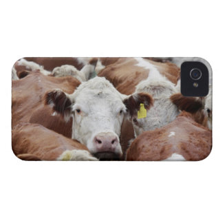 Cows in a corral Case-Mate iPhone 4 cases