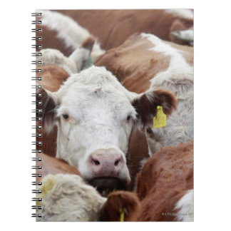 Cows in a corral notebooks