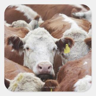 Cows in a corral square sticker