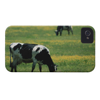 Cows in a Field of Flowers iPhone 4 Covers