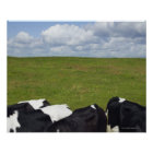 Cows in a pasture. poster