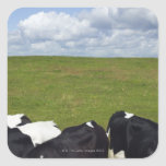 Cows in a pasture. square sticker