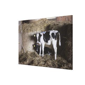 Cows in barn canvas print