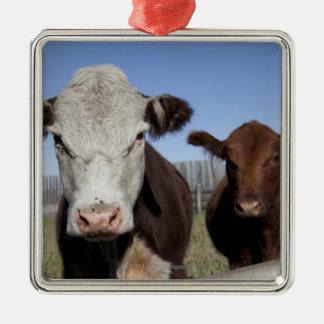 Cows in fenced area Silver-Colored square decoration