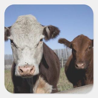 Cows in fenced area square sticker