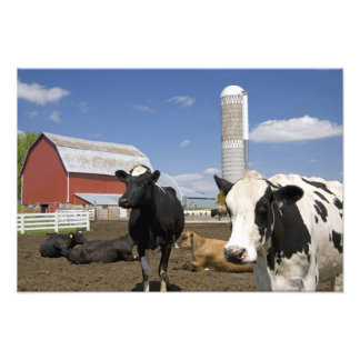 Cows in front of a red barn and silo on a farm 2 photograph