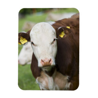 Cows in pasture, close-up magnet