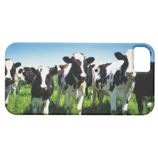 Cows in the field, Betsukai town, Hokkaido iPhone 5 Covers