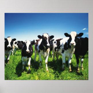Cows in the field, Betsukai town, Hokkaido Poster