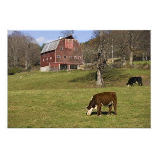 Cows on a farm in West Fairlee, Vermont. Blood Photo Print