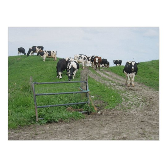 Cows Photo Poster