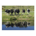 Cows reflected in canal, Henley, Taieri Plain, Postcard
