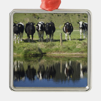 Cows reflected in canal, Henley, Taieri Plain, Silver-Colored Square Decoration