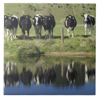 Cows reflected in canal, Henley, Taieri Plain, Tile