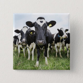 Cows standing in a row looking at camera 15 cm square badge