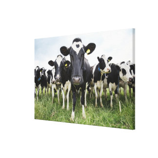 Cows standing in a row looking at camera canvas prints