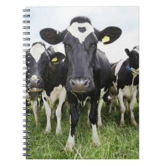 Cows standing in a row looking at camera notebooks