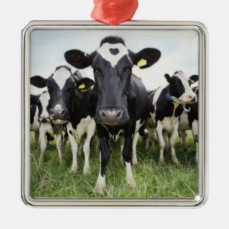 Cows standing in a row looking at camera Silver-Colored square decoration