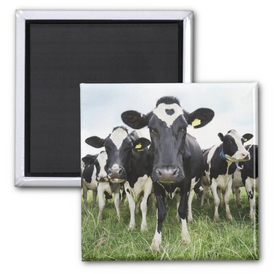 Cows standing in a row looking at camera square magnet