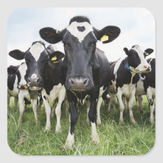 Cows standing in a row looking at camera square sticker