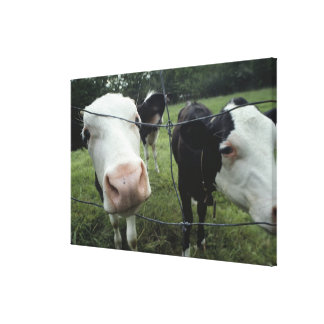 Cows standing in grass pasture, Nova Scotia, Canvas Print