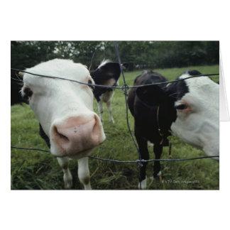 Cows standing in grass pasture, Nova Scotia, Card
