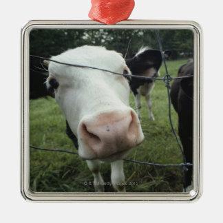 Cows standing in grass pasture, Nova Scotia, Silver-Colored Square Decoration