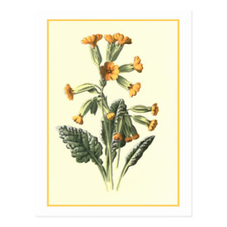 """Cowslip"" Botanical Illustration Postcard"