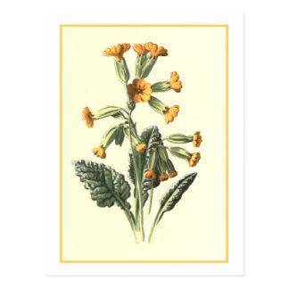 Cowslip Botanical Illustration Postcards