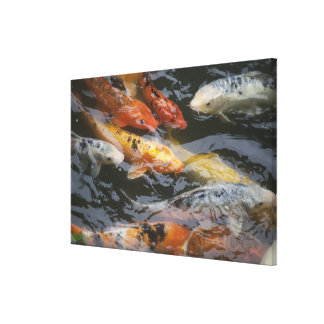 Coy Fish Canvas Print
