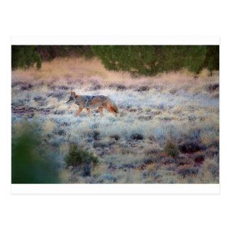 Coyote at dusk postcard