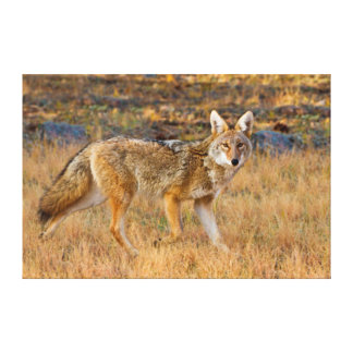 Coyote (Canis Latrans) Hunting Stretched Canvas Print