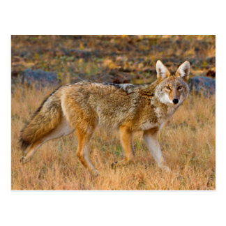 Coyote (Canis Latrans) Hunting Postcard
