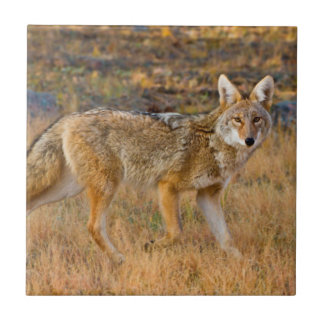 Coyote (Canis Latrans) Hunting Small Square Tile