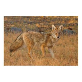 Coyote (Canis Latrans) Hunting Wood Print